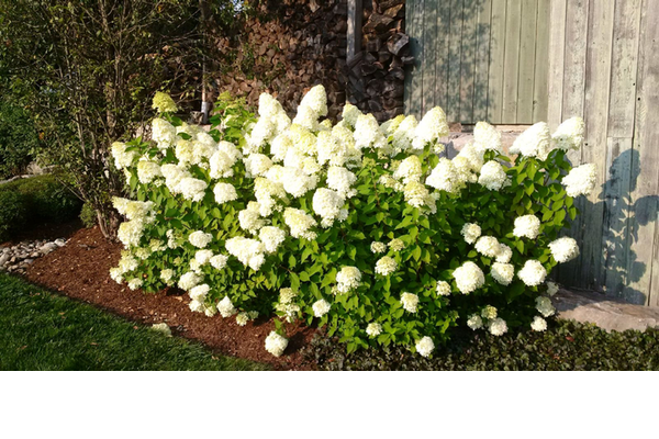 White hydrangea in full bloom